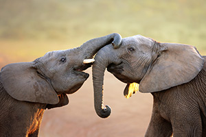 Elephants tusks are overgrown incisors