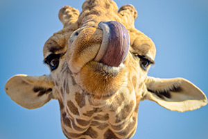 Giraffes only have front teeth on their lower jaws
